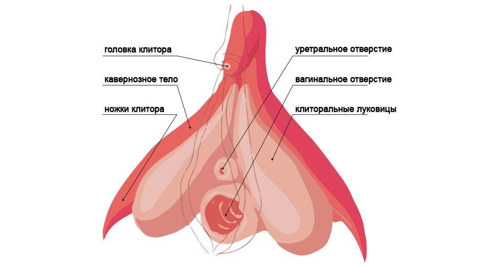 Женский клитор